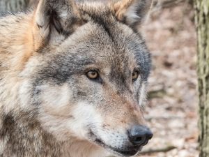 The wolf represents humility in Native American spirituality.